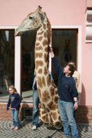 Giraffe6