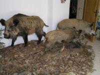 wildschweingruppe